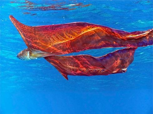 Blanket Octopus by Steve Hamedl